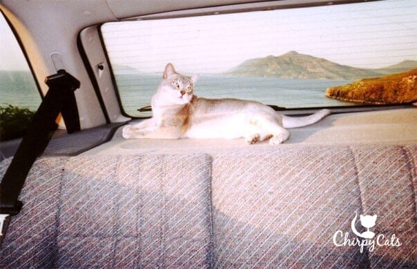 Cat resting in car