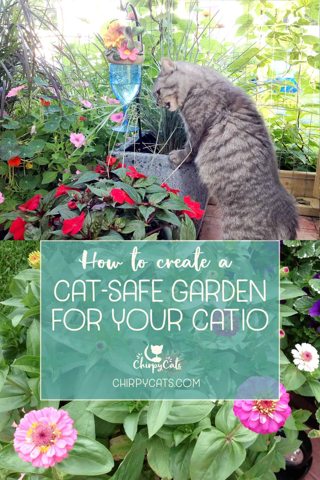 grey tabby cay snacking on blue oat grass in a catio garden