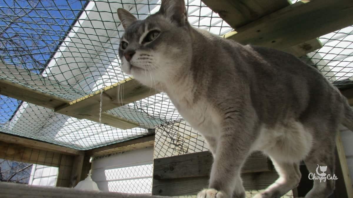 Senior cat walking in catio