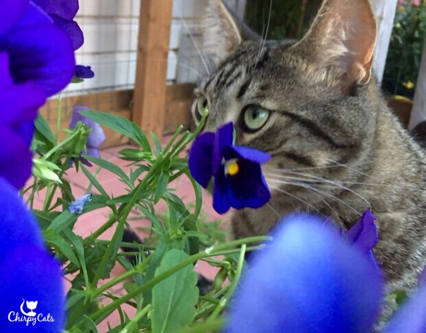 Ollie the cat, sniffing the pansies