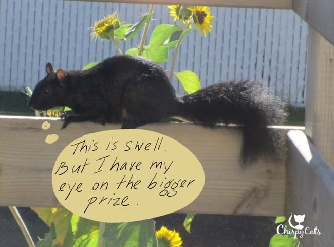 Squirrel after sunflowers