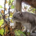 cat loves the smell of silver vine