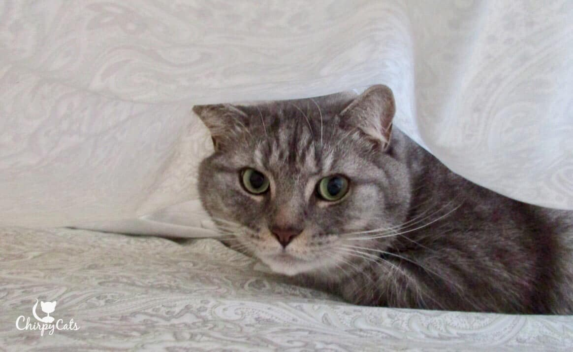 A cat tenting under sheets