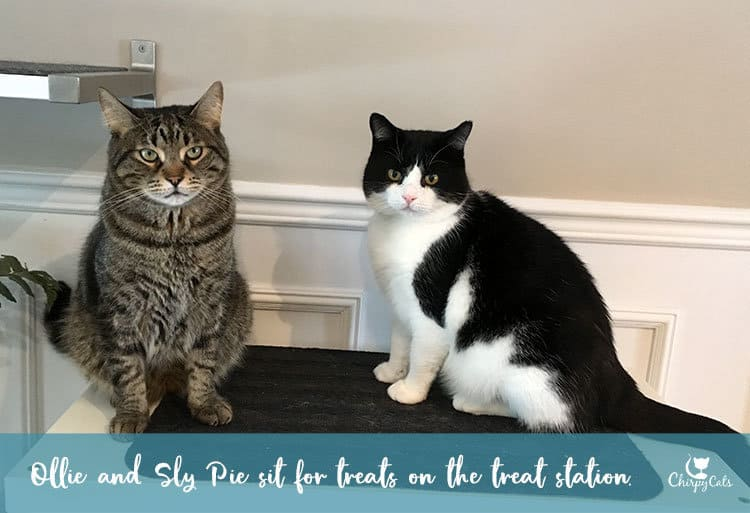cats sit for treats