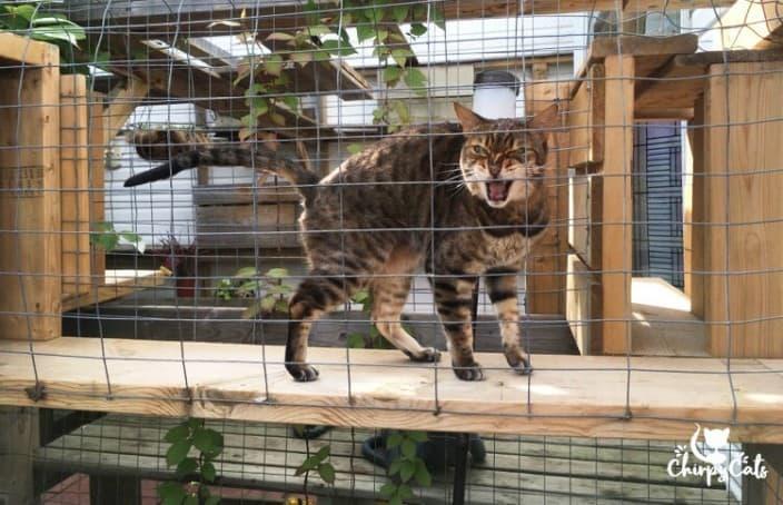 Bengal cat meowing