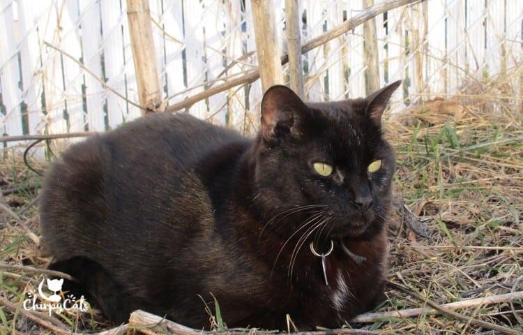 Cachou the black cat
