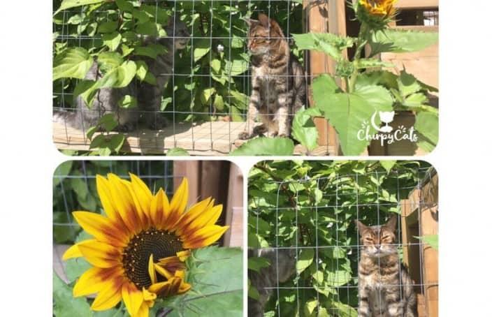 sunflowers in catio garden