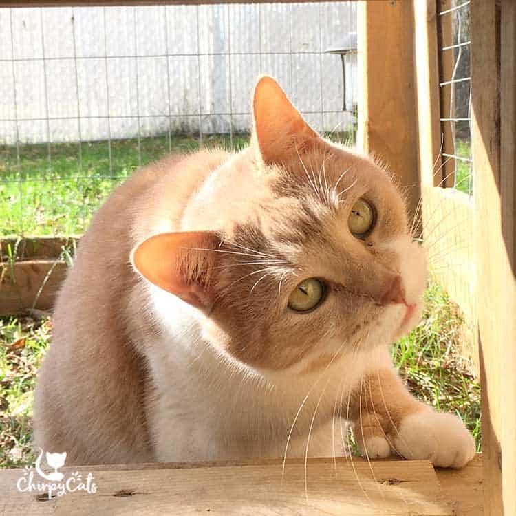 Jimmy fancy feet polydactyl cat