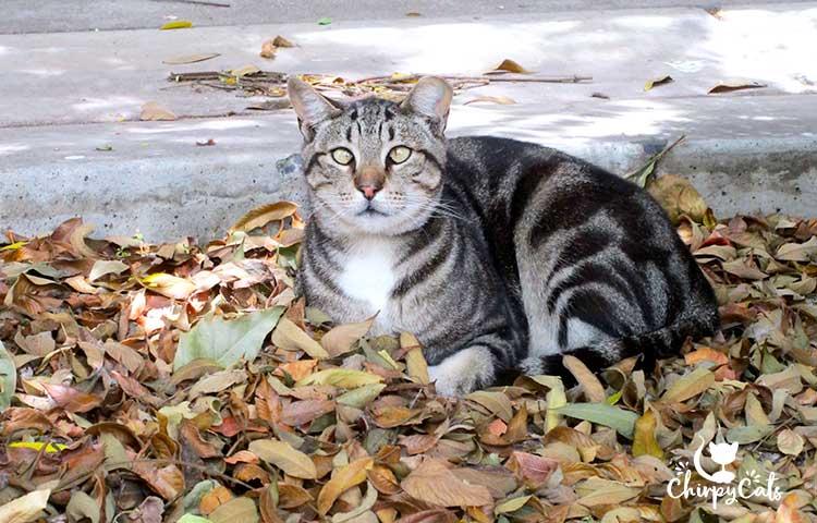 beautiful tufcat feral cat
