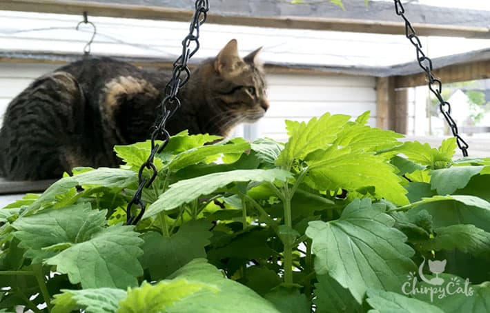 Summer catnip hanging basket