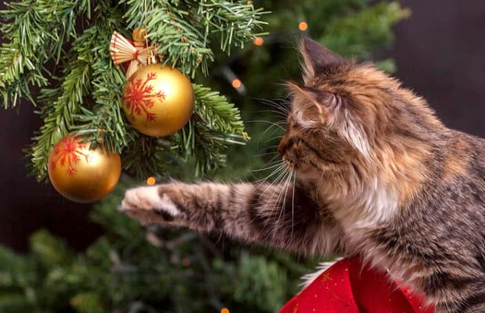 Cats and toxic holiday plants to avoid