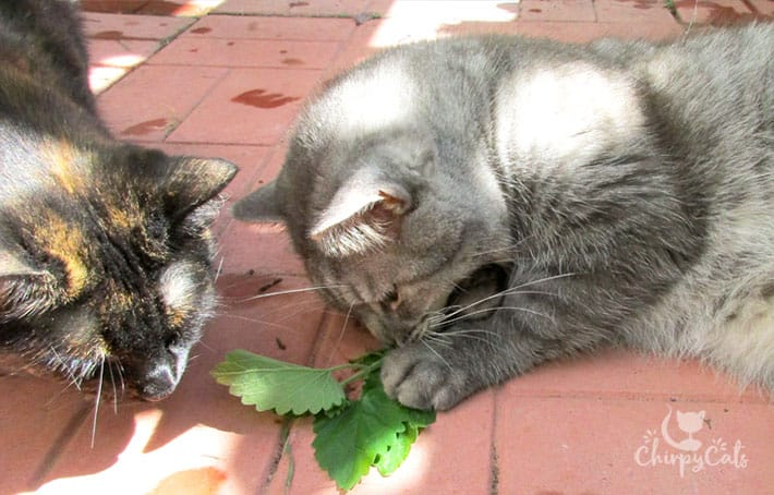 cats getting excite over fresh catnip