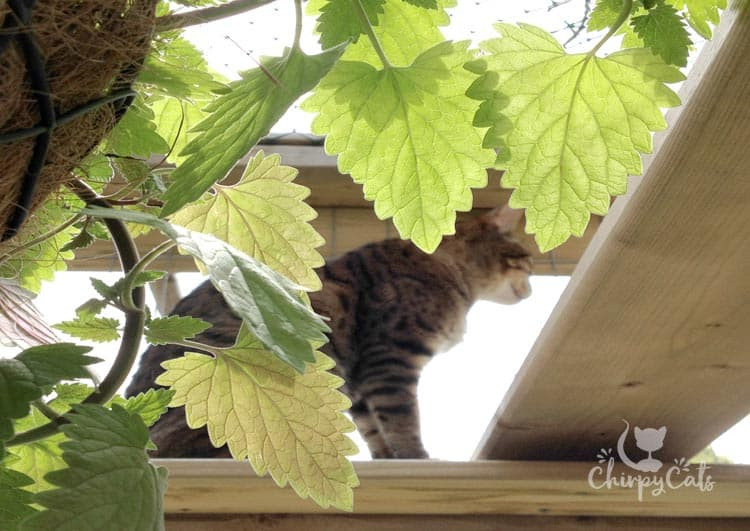 catnip leaves and foliage hang from the catnip basket. A guide on how to grow catnip.