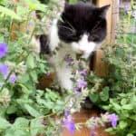 tuxedo kitty loves catnip