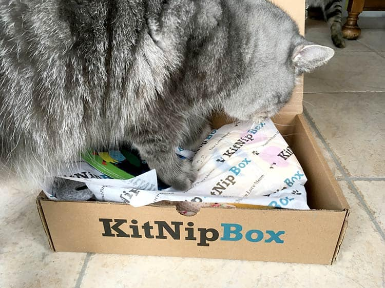 Mr Jack the chief Chirpy Cat demonstrates how to unbox the surprise KitNipBox.