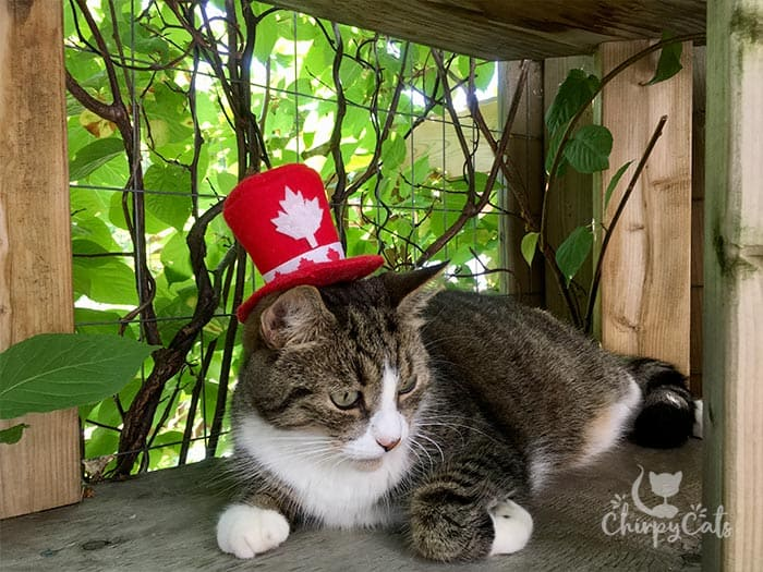 Canada Day cats with hats