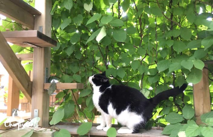 tuxedo cat jumping on catio perches