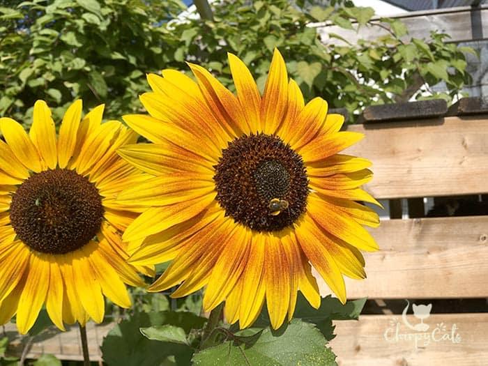 Little bee, little bee, hard at work on the sunflower