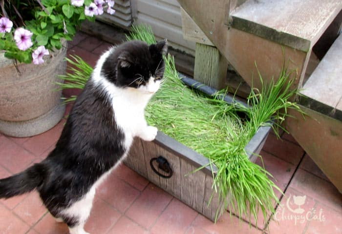 This cat grass looks comfy to sleep on