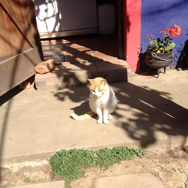 Saartjie the feral cat now lives safely at the TUFCAT Sanctuary