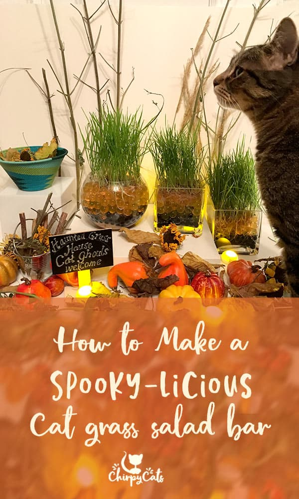 How to grow cat grass with water beads. A frightfully charming cat grass salad buffet for your cat.