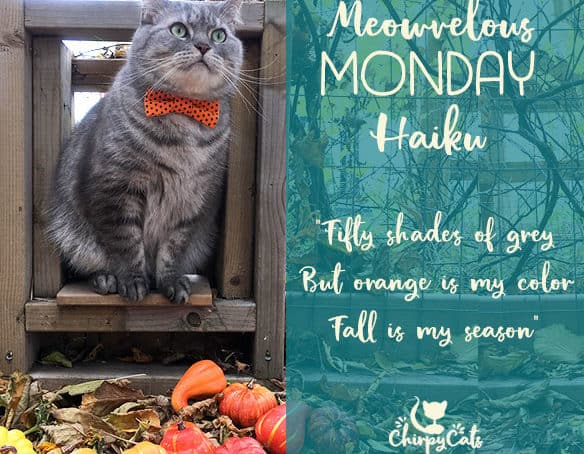 Fifty shades of grey, but orange is his color.mr. jack presents Bow Ties and Pumpkins for Meowvelous Monday Haiku