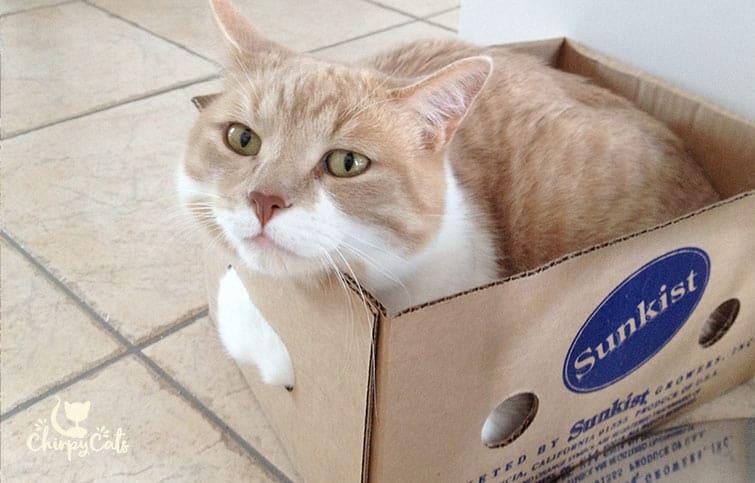 cute ginger cat in box