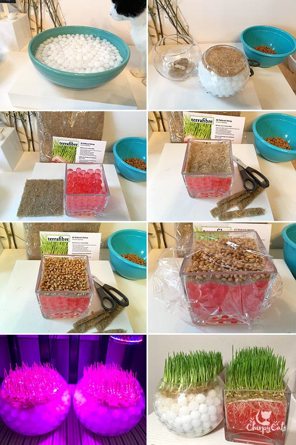 growing cat grass using water beads and grow mats