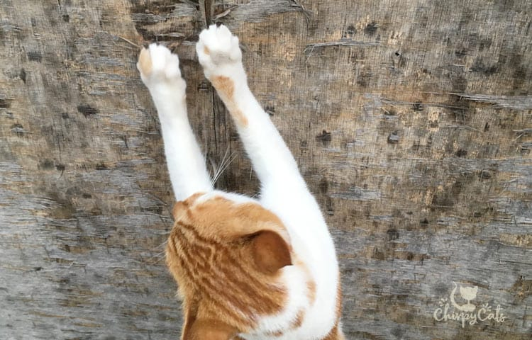 Caramel the ginger and white cat scratches at the gate