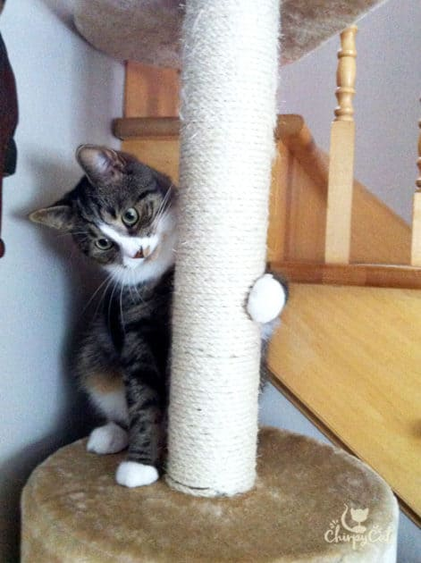 cat learning how to use a cat tree