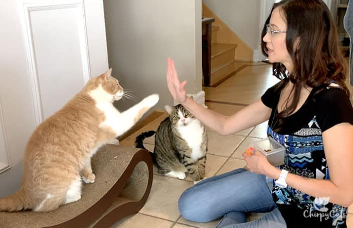 clicker training ginger cats to do high 5