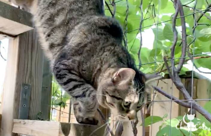 alert tabby cat jumps onto lower catio perch