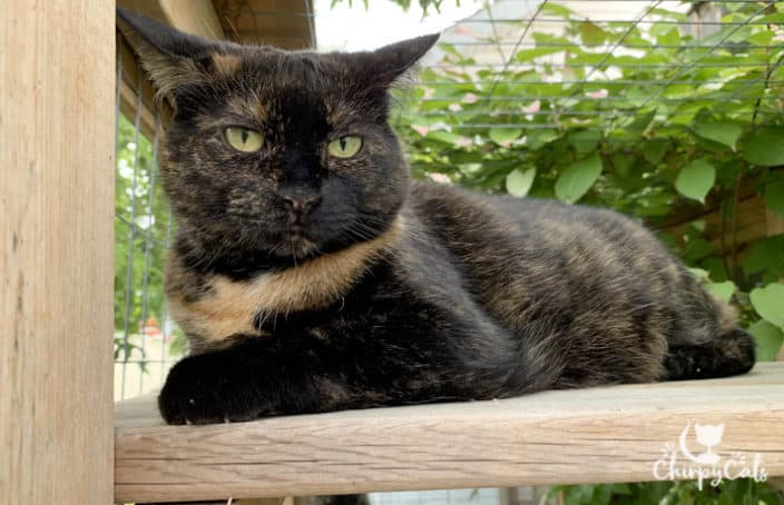 tortie cat sitting on catio perch