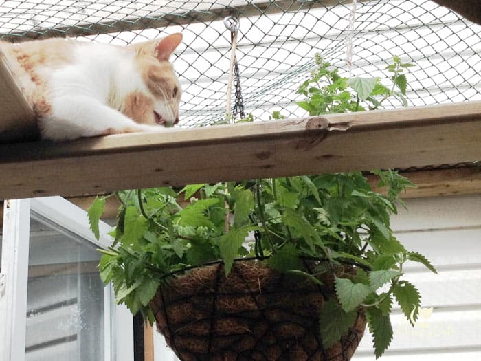 ginger cat finds hanging basket of catnip in the catio superhighway