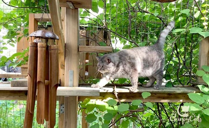 grey tabby cat is curious about the wind chimes