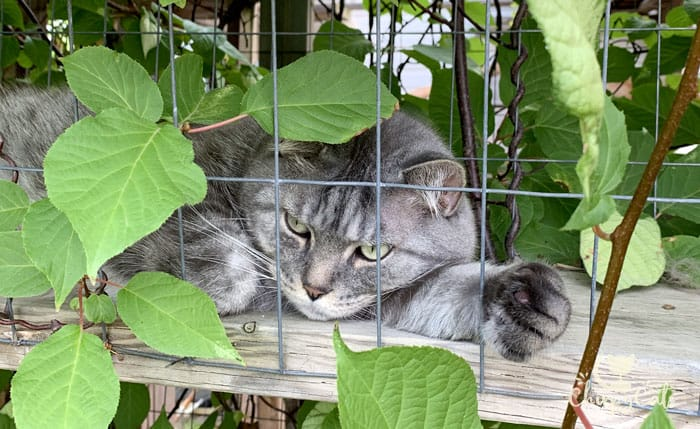 pensive looking grey tabby cat laying in vine leaves