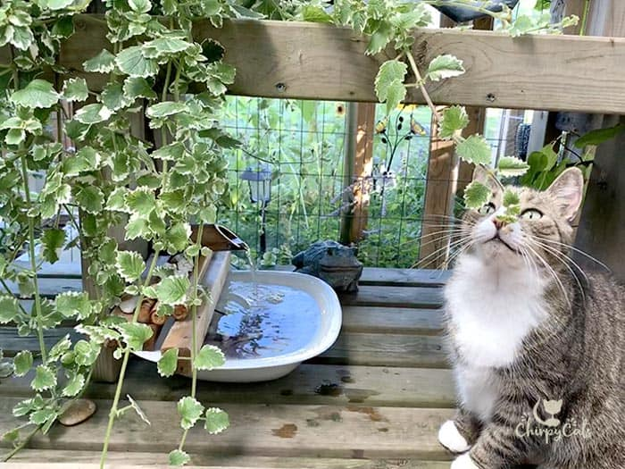 cat sitting next to water fountain and Swedish ivy plant in catio
