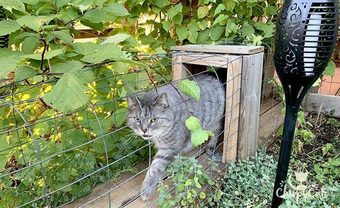 Grey tabby cat walking in the catnip catio tunnel