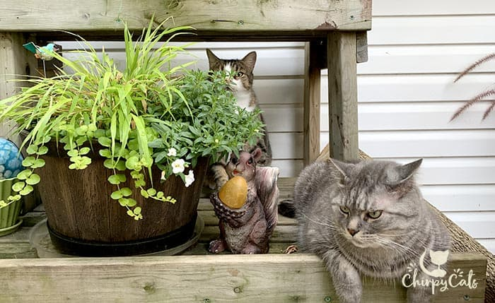 photobomb tabby cat lurking behind the potted plants with a grey tabby sitting close by