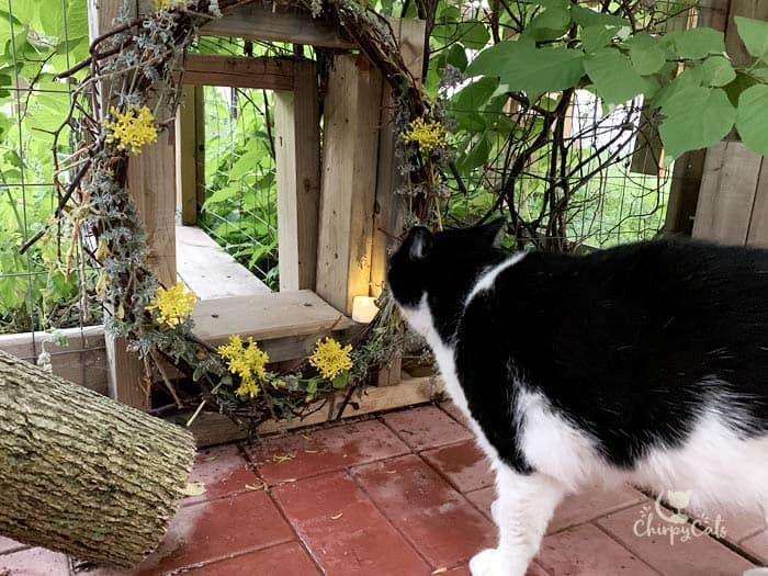 tuxedo cat stares into catio tunnel decorated with stonecrop flowers