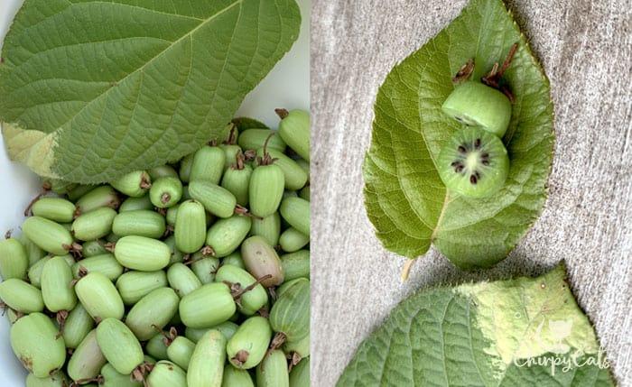 kiwi berry harvest