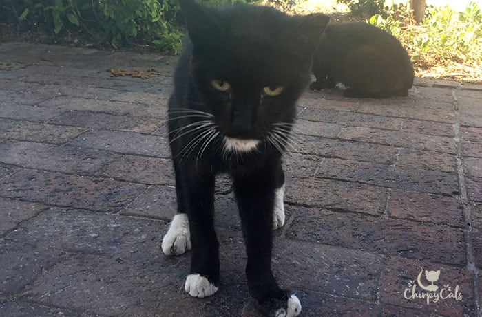old black cat with white gloved and chin named Chong