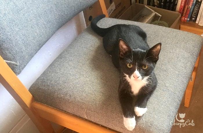 kitten on chair in bookshop