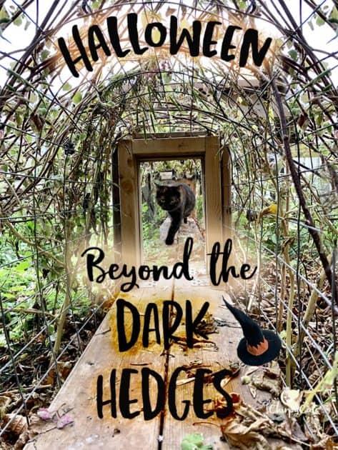 Dark hedges Halloween in the cat tunnel