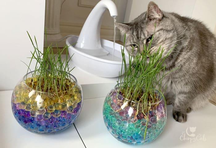 cat salad bar eating grass near cat fountain