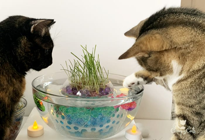 tortie cat and tabby cat playing with robot fish