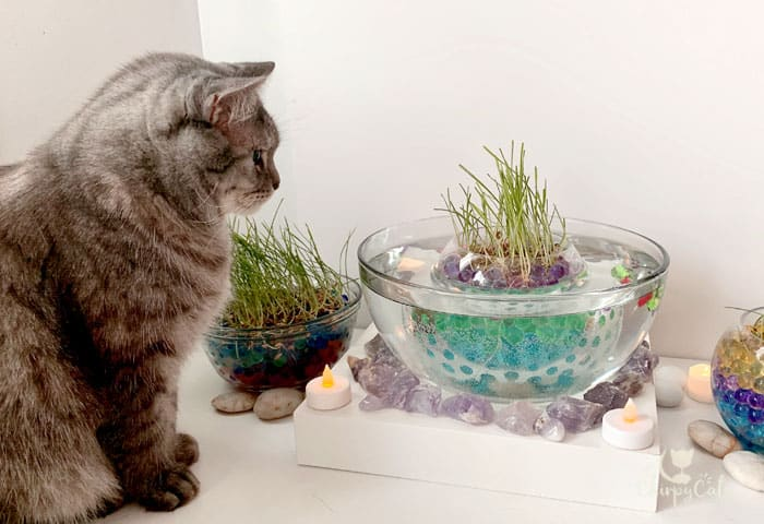 grey cat looks at the grass pond fish bowl