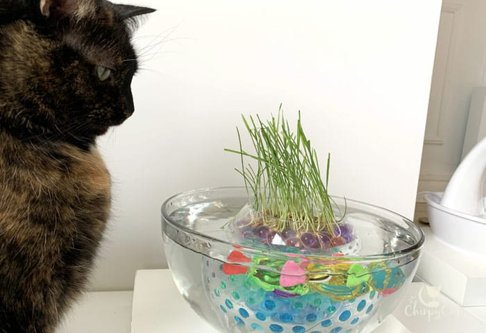 tortie cat meditating at the fishbowl cat grass pond