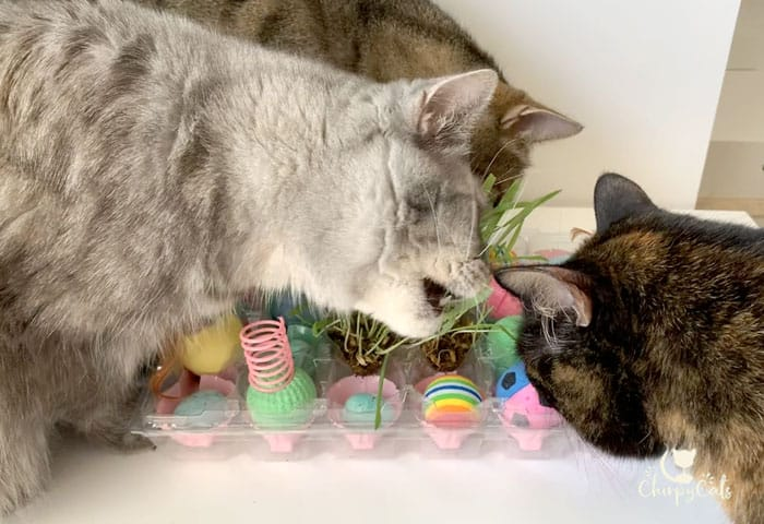 curious cats gather around a homemade food puzzle